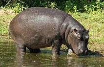hippo-374145__180a
